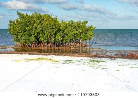 Mangrove trees and Sargasso seaweed by the beach of Caye Caulker island Belize poster
