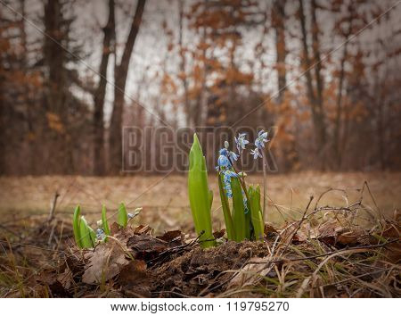 Scilla siberica (Siberian squill wood squill) is a species of flowering plant in the family Asparagaceae growing in the plains and mountain meadows in Europe and Asia.