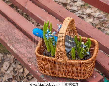 Basket with flowers Scylla (Scilla siberica) on the bench in the garden