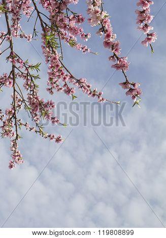 Pink Spring Blosssom
