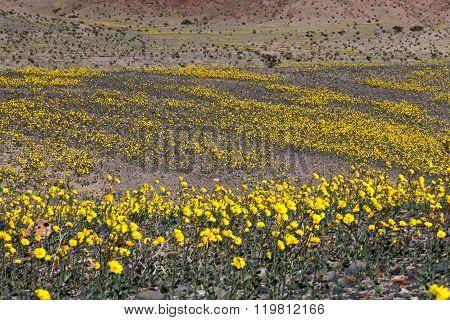 Desert Gold #2