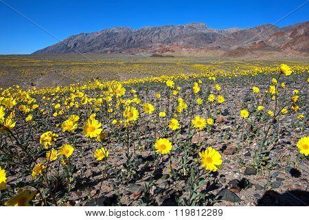Desert Gold #3