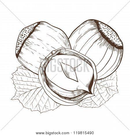 Hazelnut vector isolated on white background