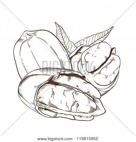 Pecan vector isolated on white background