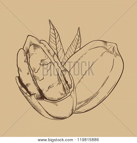 Pecan vector isolated on vintage background