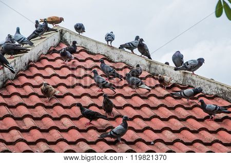 Pigeons Perched On The Roof.