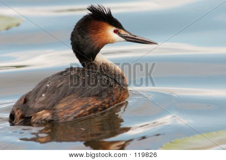 Great Crested Grebe In Green Water