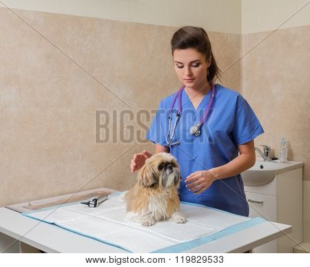 Veterinarien examining Yorkshire terrier in veterinary clinic.