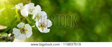 Pear tree blossoms .