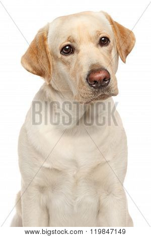Close-up Of Labrador Retriever