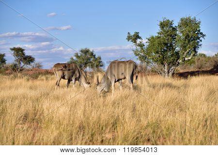 Great Kudu Antelopes, Africa
