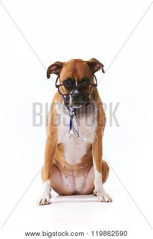 Vet boxer dog