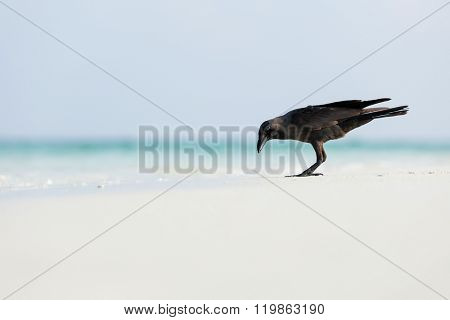 Macro photo of raven on the beach