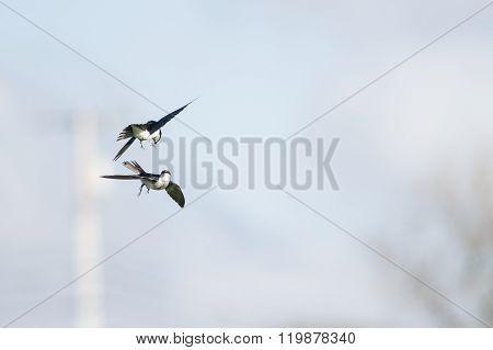 Pair Of Tree Swallows