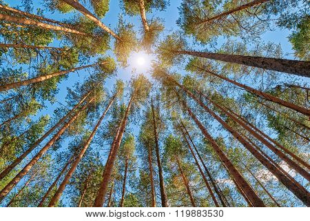 Midnight Sun in Bright Pine Forest
