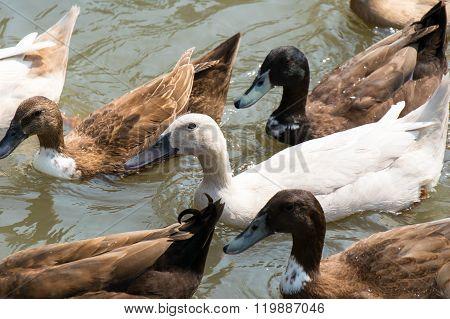 White And Brown Ducks Masses Swiming On Lagoon