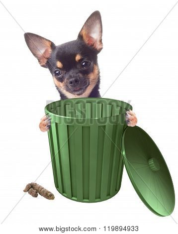 Cute Chihuahua Clean Up After, Isolated White Background