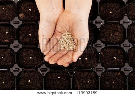 Child hands with seeds to be sowed in germination tray with dark fertile soil