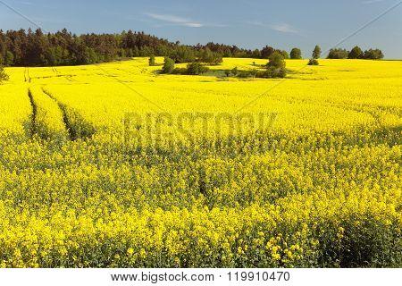 Field Of Rapeseed (brassica Napus)