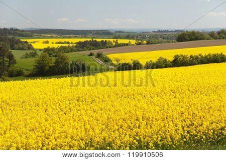 View Of Flowering Field Of Rapeseed - Brassica Napus