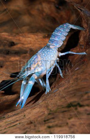 Australian Blue Crayfish