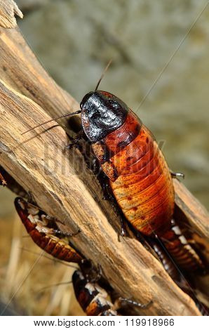 Madagascar hissing (Gromphadorhina portentosa) cockroach in natural environment