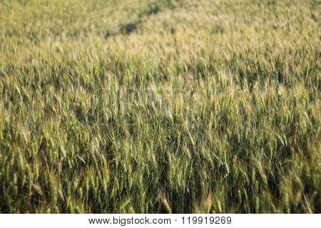 Wheatfield