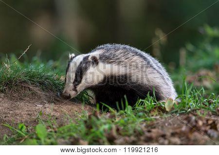 Badger (Meles Meles)