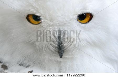 White polar owl face closeup. Carnivorous bird with amber eyes.