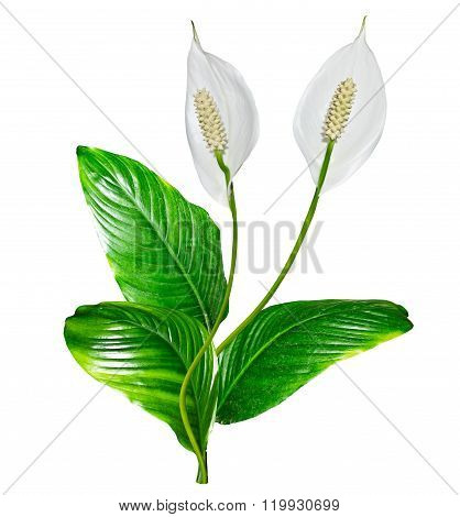 Flower Spathiphyllum Isolated On White Background.