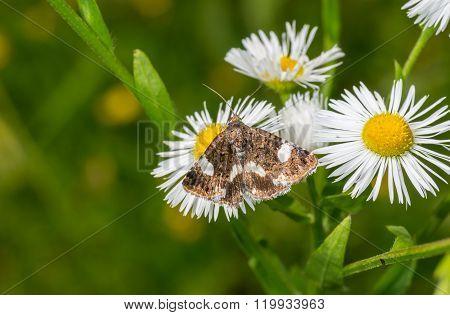 Desmia moth sucking nectar on a wild flower