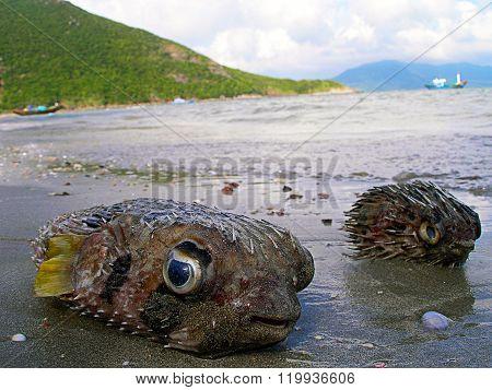 Fugu Fishes On The Beach.