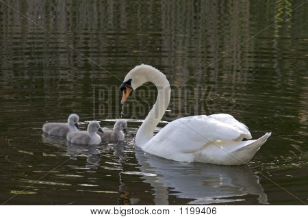 mother swan swimming in water with cygnets poster