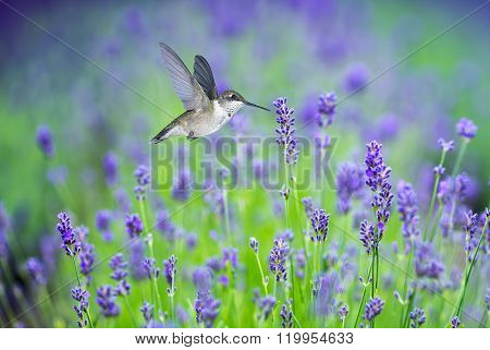 Hummingbird In Motion Surrounded By Purple Lavender Flowers