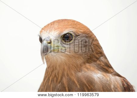 Young Brahminy Kite Or Red-backed Sea-eagle
