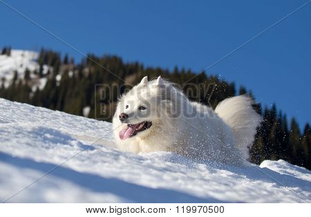 Beautiful dog is running in the snow