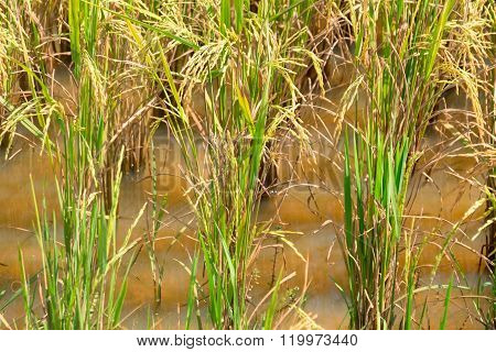 Rice field in Cambodia. Young plants food, cultivate,