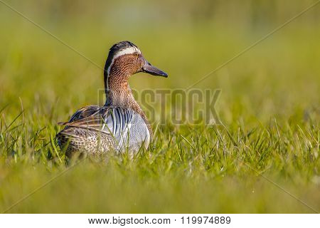 Male Garganey Duck Looking Backward