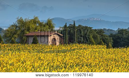 Lonely House In Field Of Sunflowers
