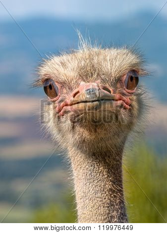 Head Of An Ostrich