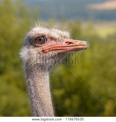 Potrait Of An African Ostrich