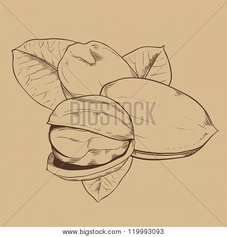 Pistachio vector isolated on vintage background
