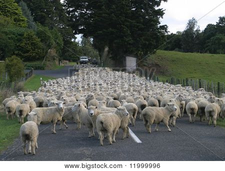 Flock of Sheep, New Zealand