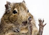 degu rodent snout and paws closeup isolated on white poster