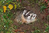 North American Badger (Taxidea taxus) Looking Left in Den - captive animal poster