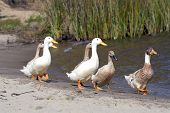 a family of geese walking down the side of a lake. poster