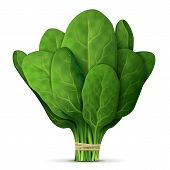 Green raw spinach leaves isolated on white background. Qualitative vector illustration for agriculture vegetables cooking health food gastronomy olericulture etc. It has transparency blending modes mask gradients poster
