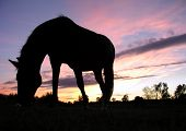 horse grazing in a field silhouetted against a dramatic sunset sky. poster