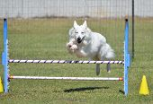 White Shepherd Leaping Over a Jump at a Dog Agility Trial poster