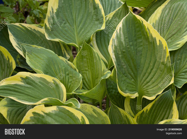 Large Hosta Leaves Image Photo Free Trial Bigstock
